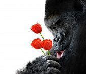 image of lowlands  - Adorable photo of a big Western Lowland Gorilla holding a bunch of tulips and making a happy expression - JPG