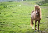picture of horse-breeding  - Iceland horse staring - JPG