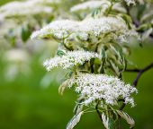 foto of dogwood  - Close up of the dogwood blooming branches with white flowers - JPG