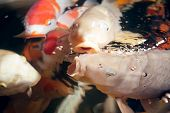 stock photo of koi fish  - Different colorful koi fishes swimming in aquarium - JPG