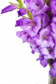 image of gladiolus  - border  of gladiolus flowers close up isolated on white background - JPG