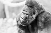 Black And White Portrait Of Gorilla