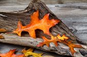 stock photo of driftwood  - Large Oak leaf in fall color inside aged driftwood on rustic wooden boards - JPG