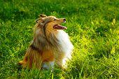 Sheltie dog