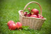 Fresh ripe apples in basket on the meadow