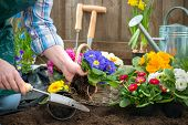 picture of plant pot  - Gardeners hands planting flowers in pot with dirt or soil at back yard - JPG