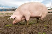 stock photo of piglet  - Side view of a big pig on a farm - JPG