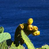 picture of prickly-pear  - A cactus plant with prickly pears - JPG
