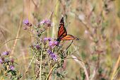 picture of monarch  - Monarch Butterfly (Danaus plexippus) on a New England Aster, a pretty wildflower, considered an aggressive weed by some people, it is very popular to bees and Monarch butterflies