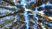 picture of pine-needle  - Tops of pine tree - JPG