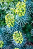 pic of lime-blossom  - Yellow to lime green Euphorbia in the garden - JPG