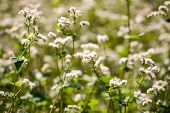 stock photo of buckwheat  - Beautiful close up of summer buckwheat flowers - JPG