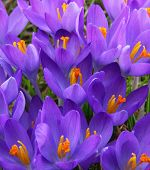 image of violets  - Violet crocus is one of the first spring flowers can use as spring background - JPG