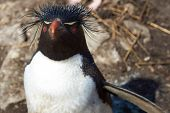 image of falklands  - Rockhopper Penguin  - JPG