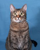 picture of blue tabby  - Tabby nice cat sitting on blue background - JPG