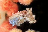 pic of cuttlefish  - A tiny Crinoid Cuttlefish hiding amongst soft coral on a reef - JPG