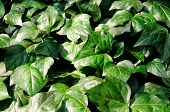 picture of ivy  - Green ivy ground cover in the direct sunlight - JPG