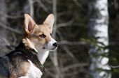 foto of corgi  - a 5 month old corgi looking over his domain - JPG
