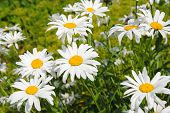 image of chamomile  - Chamomile flowers in the garden - JPG
