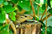 stock photo of monitor lizard  - Young  Water Monitor Lizard in the Thailand - JPG