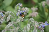 stock photo of borage  - A bee with a pollen sack on its leg investigates a borage flower - JPG
