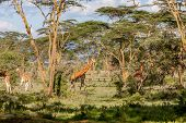 Постер, плакат: Giraffes herd in savannah