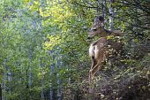 Mule Deer Odocoileus hemionus
