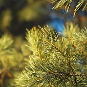 stock photo of pine-needle  - Closeup of pine needles square shot with selective focus - JPG