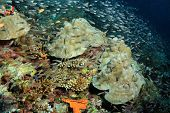 image of sweeper  - Coral Reef Covered with Schooling Yellow Sweepers  - JPG