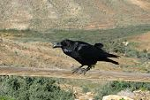 picture of raven  - Canary island raven  - JPG