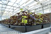 pic of greenhouse  - Basil in a greenhouse plant fresh juicy Italian spice - JPG