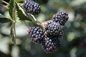 image of blackberries  - Blackberry delicious juicy fresh berries on the bushes - JPG