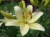 image of monocots  - Lily white growing in nature blooms in summer - JPG