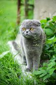 picture of scottish-fold  - Scottish fold cat on the grass outdoor - JPG
