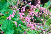 pic of confederation  - pink Confederate vine flower in the garden - JPG