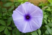stock photo of ipomoea  - Ipomoea - JPG