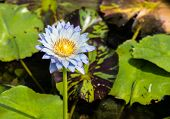 picture of water bug  - Lite blue water lily with yellow pollen floating on the water which big green leafs as a background - JPG