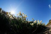 foto of daffodils  - White Double Daffodil - JPG