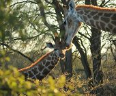 picture of marshes  - evening scenery including two giraffes at the Savuti Marsh area in the Chobe National Park in Botswana Africa  - JPG