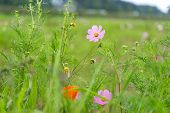 picture of cosmos  - a wild cosmos in a field of cosmos near the gangneung gyeongpo wetlands park in south korea - JPG
