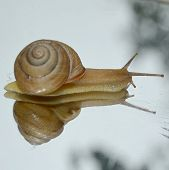 stock photo of enzyme  - Little snail crawling on the wet window - JPG