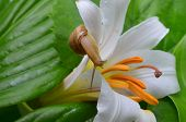 stock photo of enzyme  - Little snail crawling on a white lily covered with dew - JPG