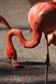 stock photo of flamingo  - Caribbean flamingo  - JPG