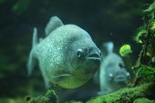 picture of piranha  - Piranha  - JPG