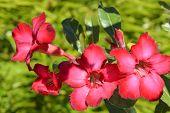picture of desert-rose  - A view of Desert rose Latin name adenium obesum flowers - JPG