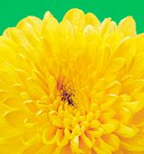 picture of chrysanthemum  - autumn yellow chrysanthemum on green background - JPG