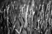 picture of fall-wheat  - Field of many ears of wheat in daylight on natural background horizontal picture - JPG