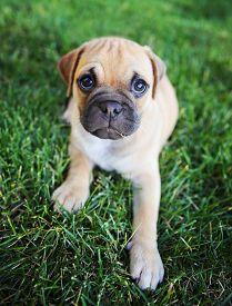 stock photo of chug  - a cute chihuahua pug mix puppy  - JPG