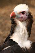 Vulture (1646)