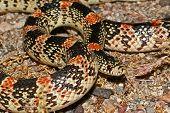 stock photo of harmless snakes  - long - JPG